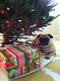cute Pug Brisket